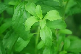 stevia_planta