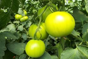 campo_tomates